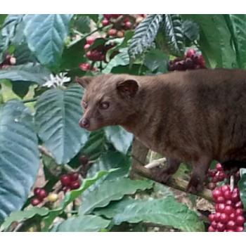 正宗野生麝香貓咖啡 ﹣ 尊貴裝